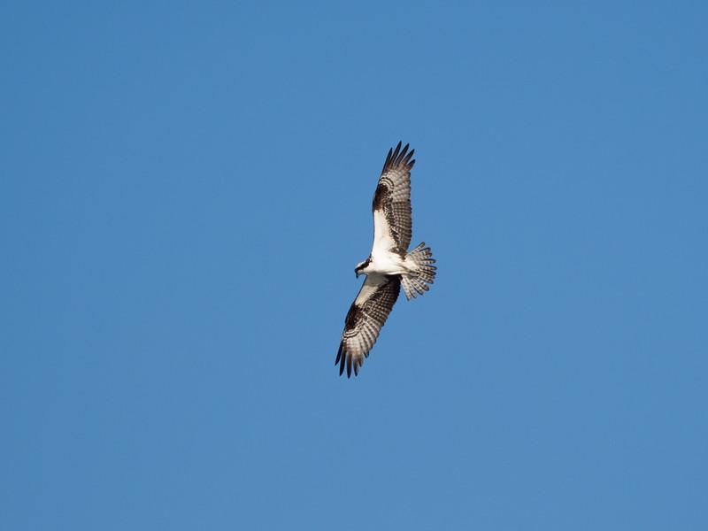 Osprey. Ding Darling Wildlife Refuge, Sanibel Island, FL
