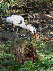 Heron Trying to Swallow a Fish.  Audubon's Corkscrew Swamp Sanctuary, Naples, FL
