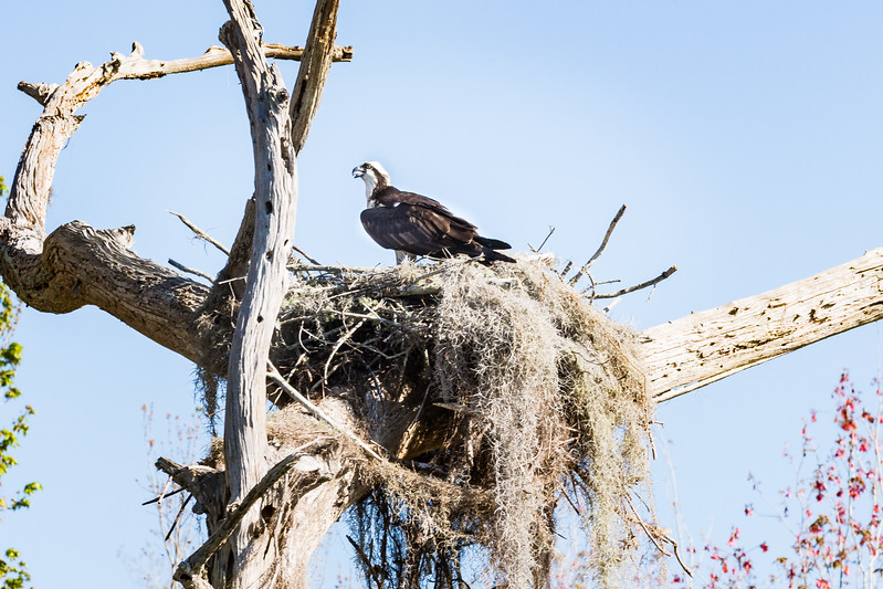 Osprey.   Dora Canal Connections Lake Dora with Lake Eustis, FL