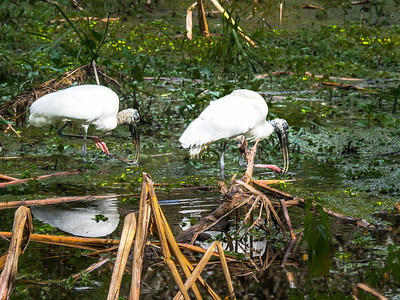 Wood Storks.  Audubon's Corkscrew Swamp Sanctuary, Naples, FL