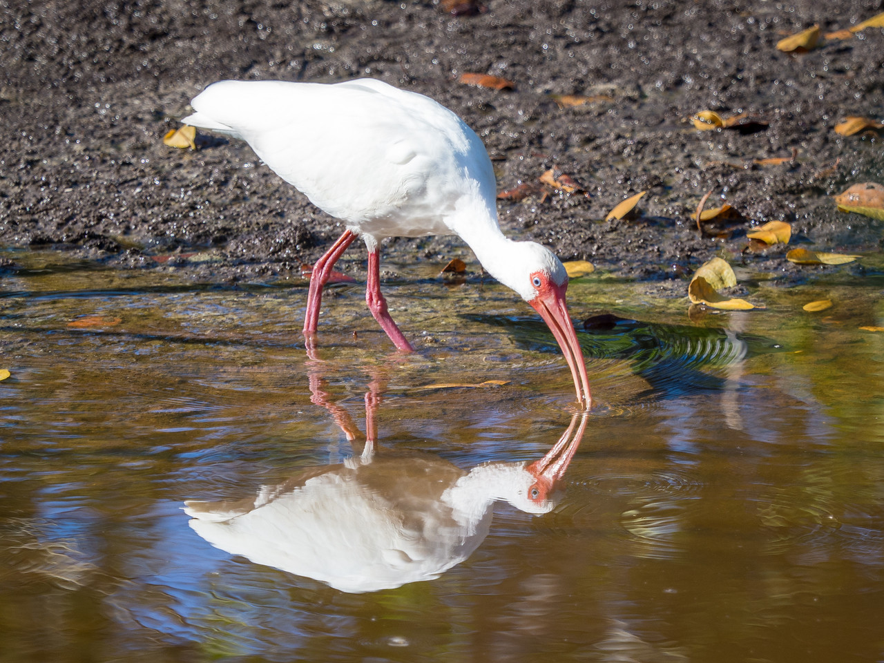Ibis. Ding Darling Wildlife Refuge, Sanibel Island, FL