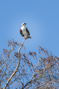 Osprey.  Dora Canal Joining Lake Dora with Lake Eustis, FL
