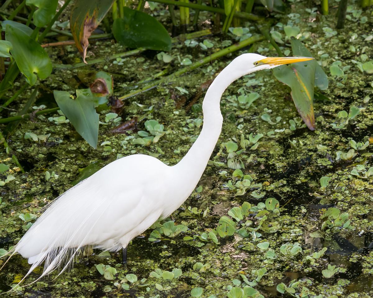Great Egret   Audubon's Corkscrew Swamp Sanctuary, Naples, FL