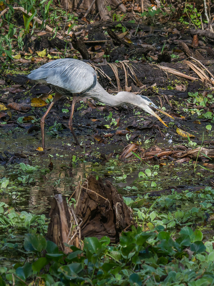 Heron Trying to Swallow a Fish.  Audubon's Corkscrew Swamp Sanctuary, Naples, FL