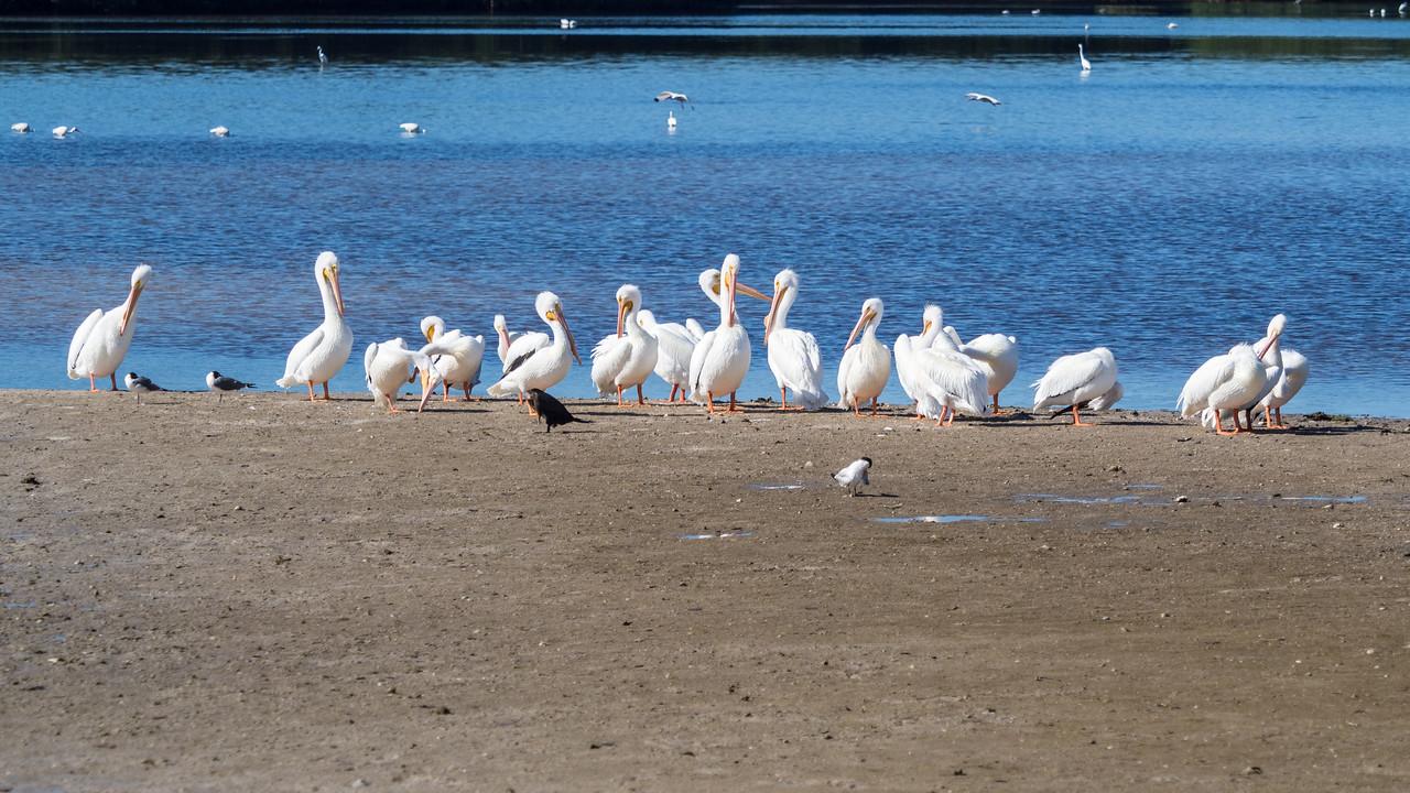 White Pelicans. Ding Darling Wildlife Refuge, Sanibel Island, FL
