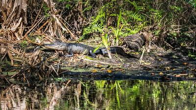 Alligator. Audubon's Corkscrew Swamp Sanctuary, Naples, FL