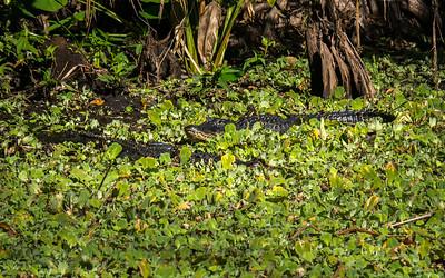 Alligators.  Audubon's Corkscrew Swamp Sanctuary, Naples, FL