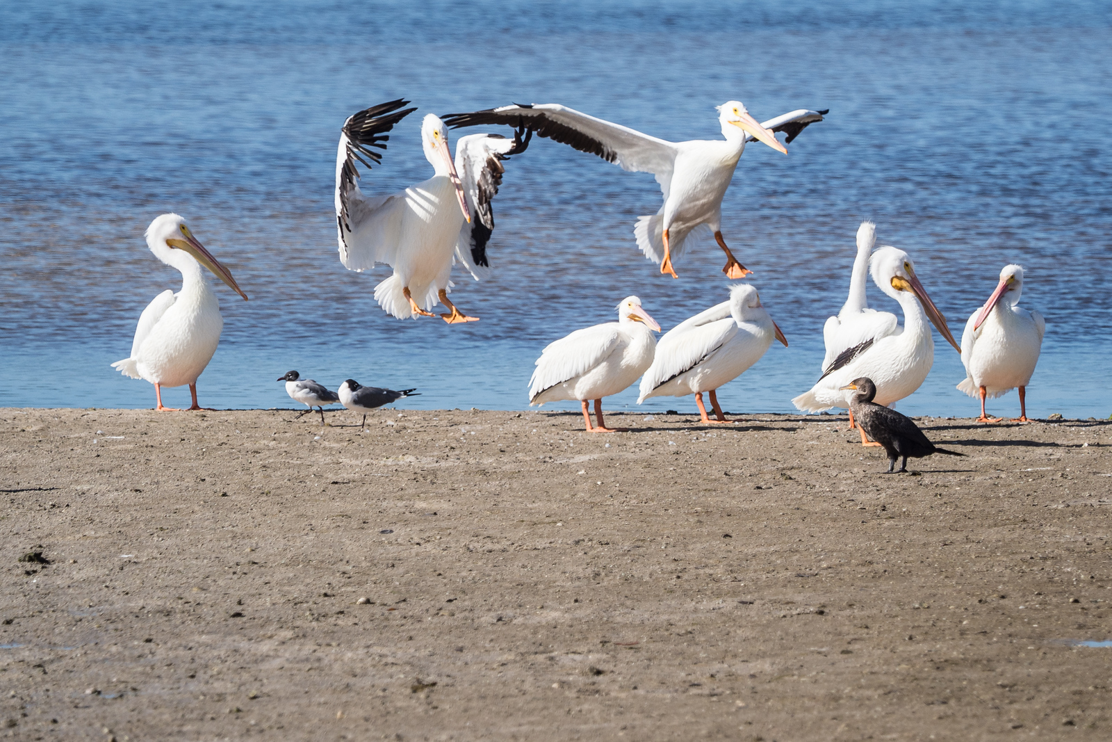 White Pelicans. Ding Darling Wildlife Refuge, Sanibel Island, FL