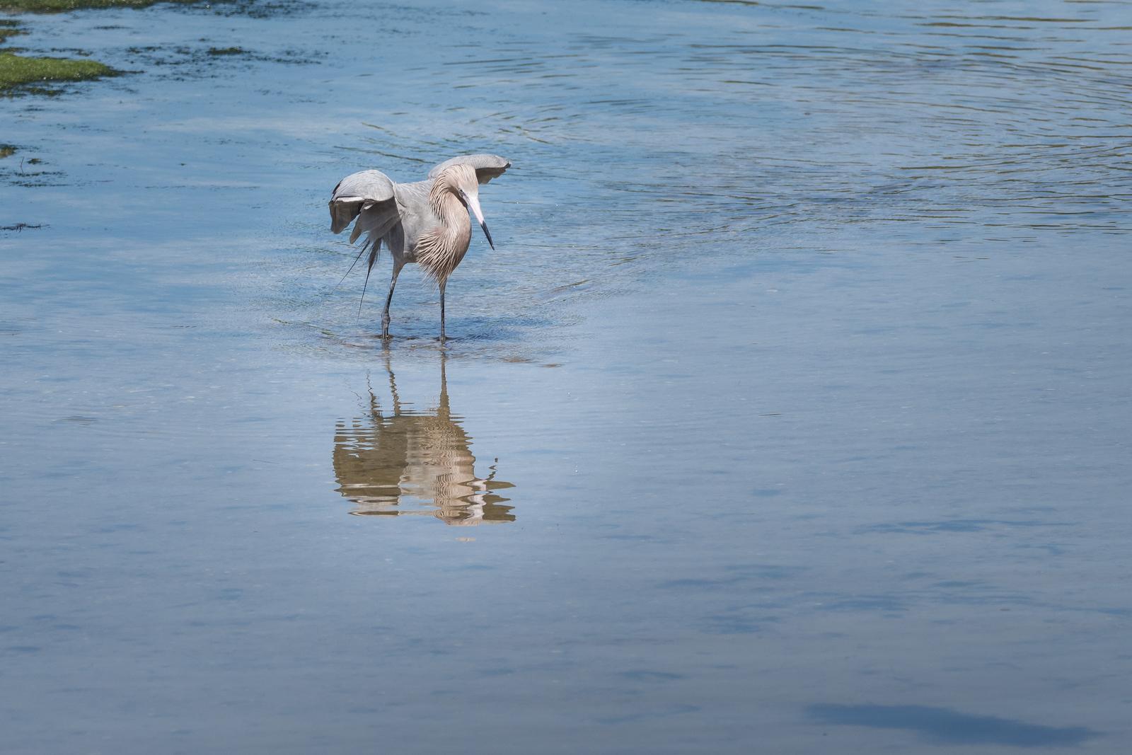 Reddish Egret.  'Fishing'     Ding Darling Wildlife Refuge, Sanibel Island, FL