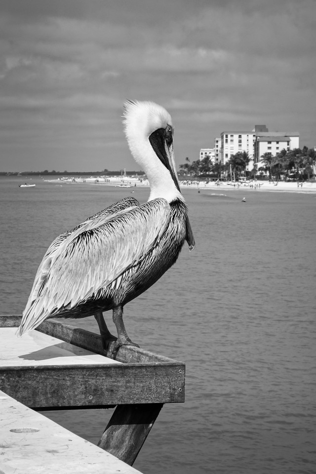 Pelican Enjoying The Pier at Fort Myers Beach, FL