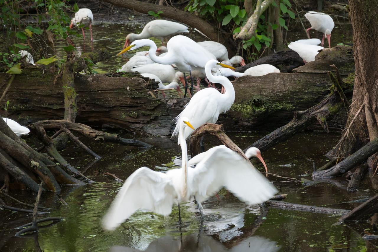 Egrets and Ibises.  Audubon's Corkscrew Swamp Sanctuary, Naples, FL