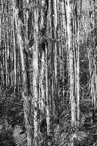 Audubon's Corkscrew Swamp Sanctuary,  Naples, FL