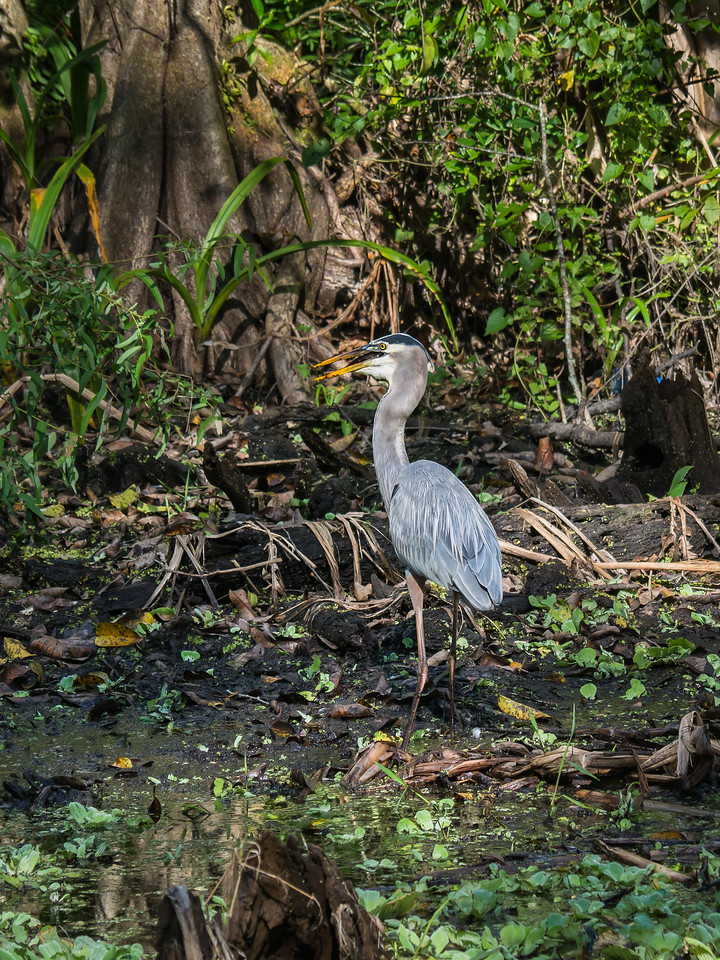 Heron Trying to Swallow a Fish.  Just About Right.  Audubon's Corkscrew Swamp Sanctuary, Naples, FL