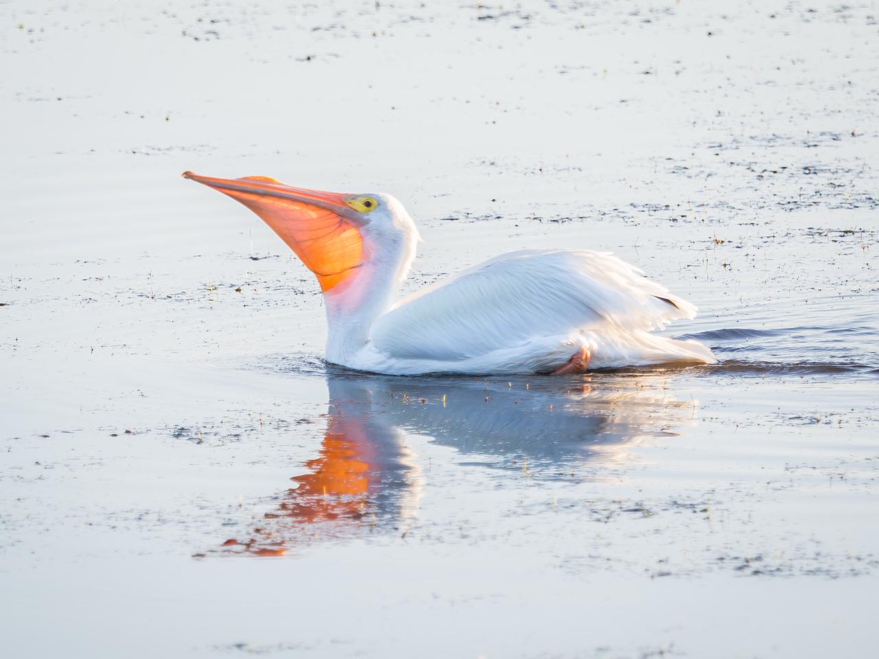 White Pelican. Ding Darling Wildlife Refuge, Sanibel Island, FL