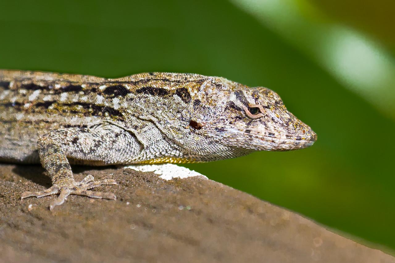 Anole. Audubon's Corkscrew Swamp Sanctuary, Naples, FL