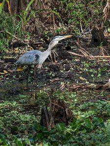 Heron Trying to Swallow a Fish.  Down It Goes.  Audubon's Corkscrew Swamp Sanctuary, Naples, FL