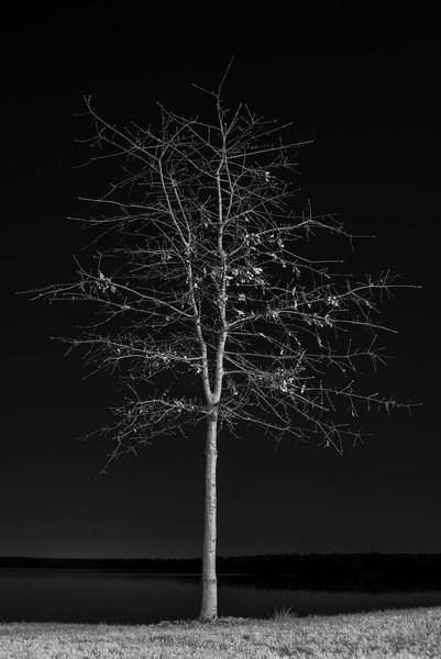 Tree at Night VIII