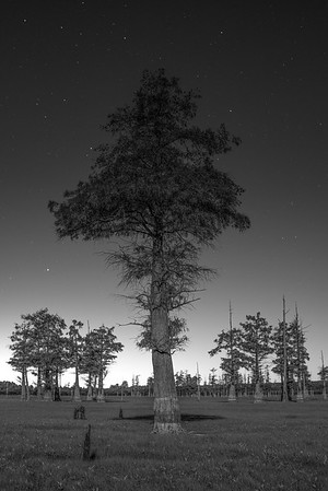 Tree at Night IV