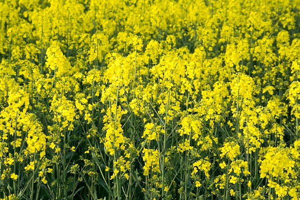 Rape Seed Fields Worcestershire