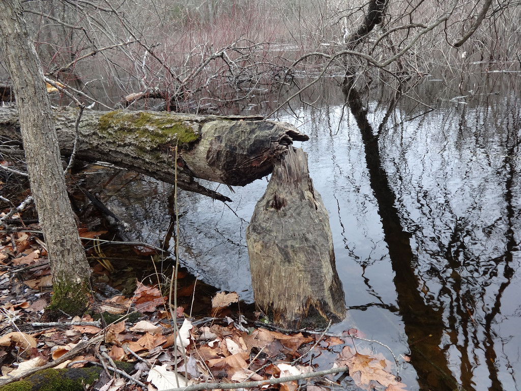 . Beavers had been hard at work along the Concord River. Photo by Mary Leach