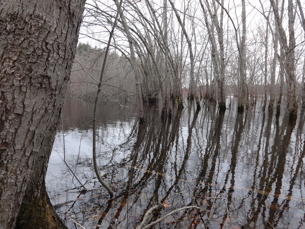 . The calm Concord River reflected bare trees. Photo by Mary Leach