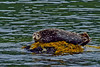 Harbor Seal, Behm Canal, Misty Fiords National Monument, Alaska.  July 2011