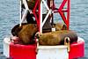 Sea Lions, Petersburg, Alaska.  July 2011