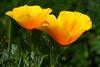 Yellow or California poppies, Boise, Idaho.  May 2017