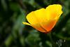 Yellow or California poppy, Boise, Idaho.  May 2017