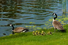 Canada Geese with chicks, Chicago, Illinois.  April 2016
