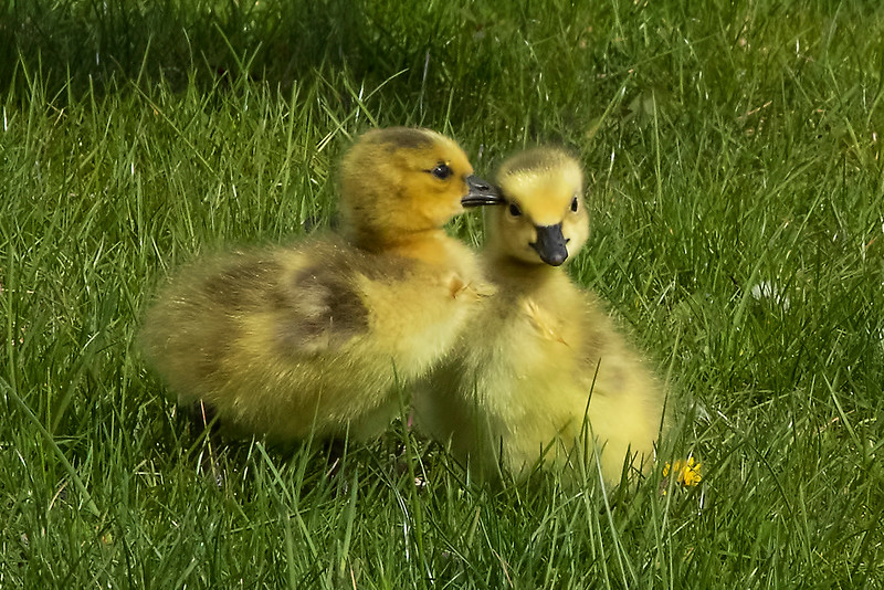 Canada Goose chicks, Chicago, Illinois.  April 2016