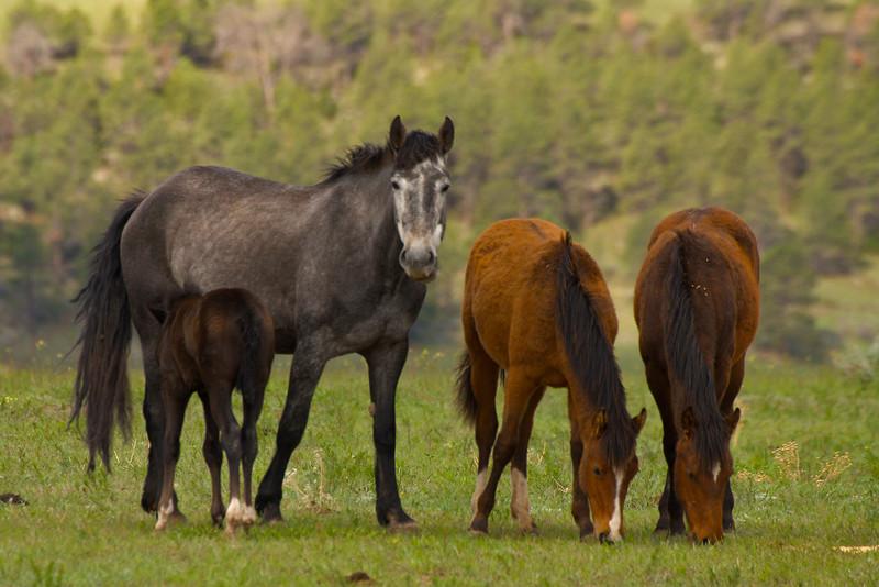 Wild horses, Black Hills Wild Horse Sanctuary, South Dakota.  May 2007