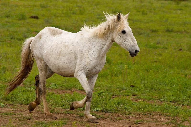 Wild horse, Black Hills Wild Horse Sanctuary, South Dakota.  May 2007