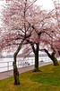 Cherry Blossoms, West Potomac Park, Washington DC.  March 2009.