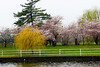 Cherry Blossoms, Potomac River, Washington DC.  March 2009