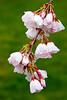 Cherry Blossom, West Potomac Park, Washington DC.  March 2009