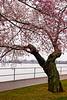 Cherry Blossoms, West Potomac Park, Washington DC.  March 2009