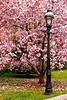 Cherry Blossoms, Washington DC.  March 2009