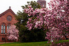 Cherry Blossoms, Smithsonian Castle, Washington DC.  March 2009