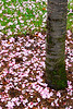 Flowering Cherry, United States Dept of Agriculture, Washington DC.  March 2009