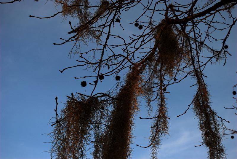 Spanish moss. Savannah Rapids Park, 2/20/10