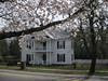 Cherry trees, downtown Conyers, 03/31/2013