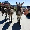 Wild burros walk the street.