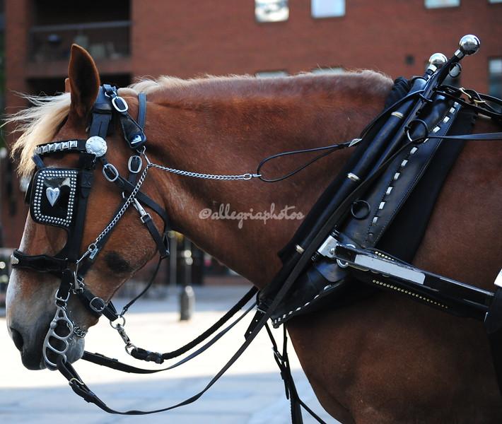 Denver Carriage Horse