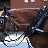 Denver Carriage Horse