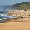 A flock of gulls on Pescadero State Beach