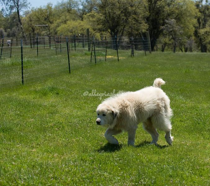 Pyrenees Mountain Dog, California