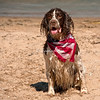 English springer spaniel waits for a ball to be thrown into the water