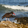 Black Oyster catcher on the rocks at Pescadero State Beach