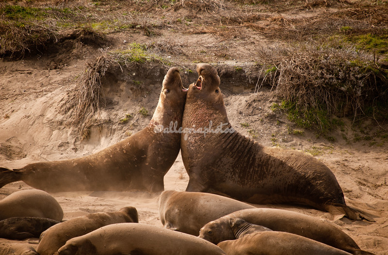 The alpha male elephant seal challenges an intruder in his harem, Ano Nuevo State Preserve, California